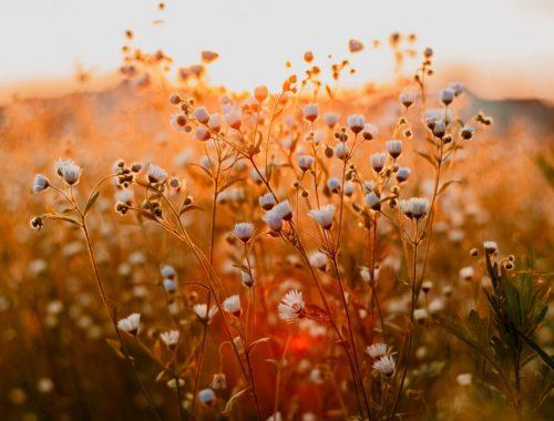 Rozwijające się pąki kwiatów na polu podczas zachodu słońca