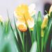 Kwitnące żółte żonkile i tulipany
