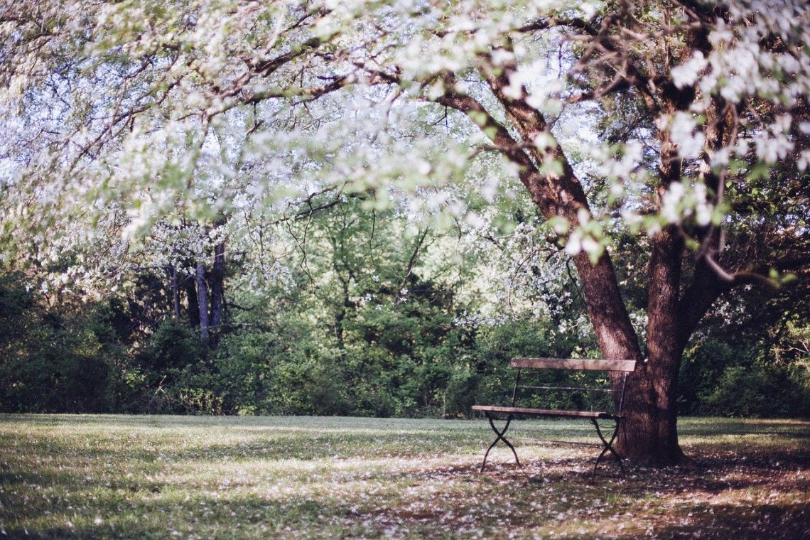 Rozłożyste kwitnące drzewo z białymi kwiatami, pod nim stoi ławka.